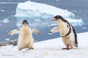 Two Gentoo Penguins in Neko Harbour, Antarctica